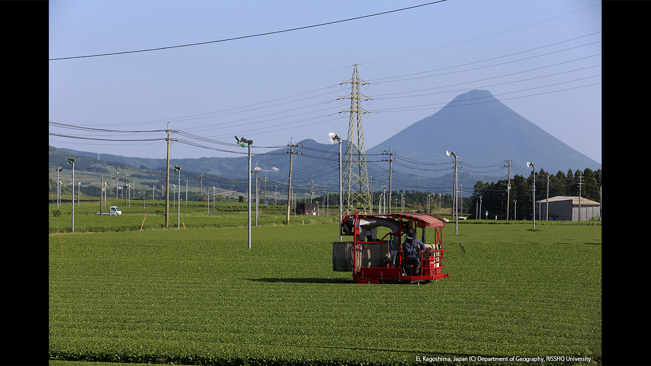 頴娃茶の収穫